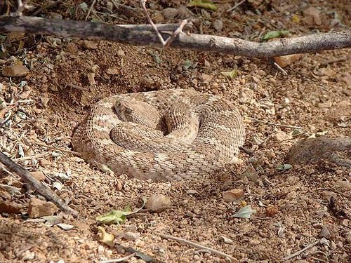 A coiled diamondback...