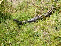 sneaking viper in Low Tatras