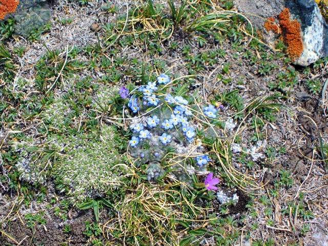 Blue alpine forget-me-nots on...