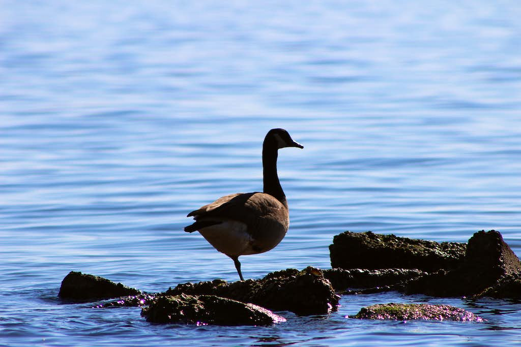 Relaxed Goose