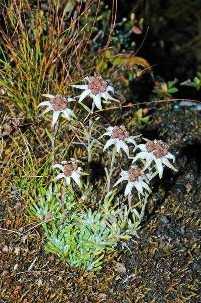 A bunch of Edelweiss. Near...