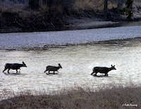 Mulie Does Crossing River