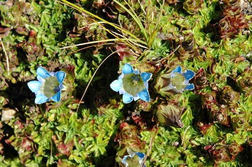 Nepalese Gentian. They are...