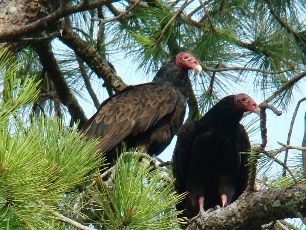Vultures at Chadron State Park