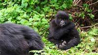 Mountain gorilla - Volcanoes National Park, Rwanda