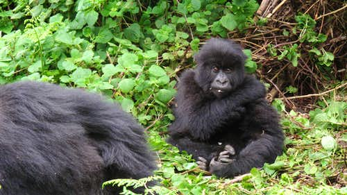 Mountain gorilla - Volcanoes National Park, Rwanda