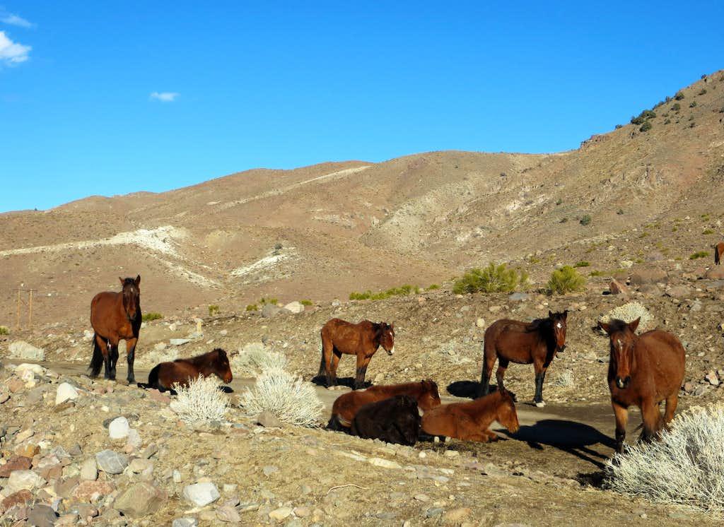 Wild Horses in the Virginia Range