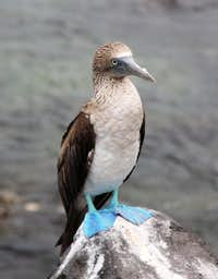 blue-footed booby 2