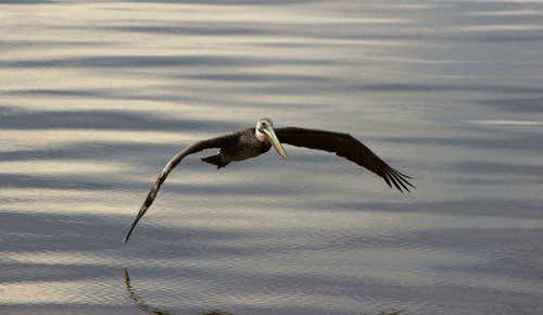 Pelican Spread