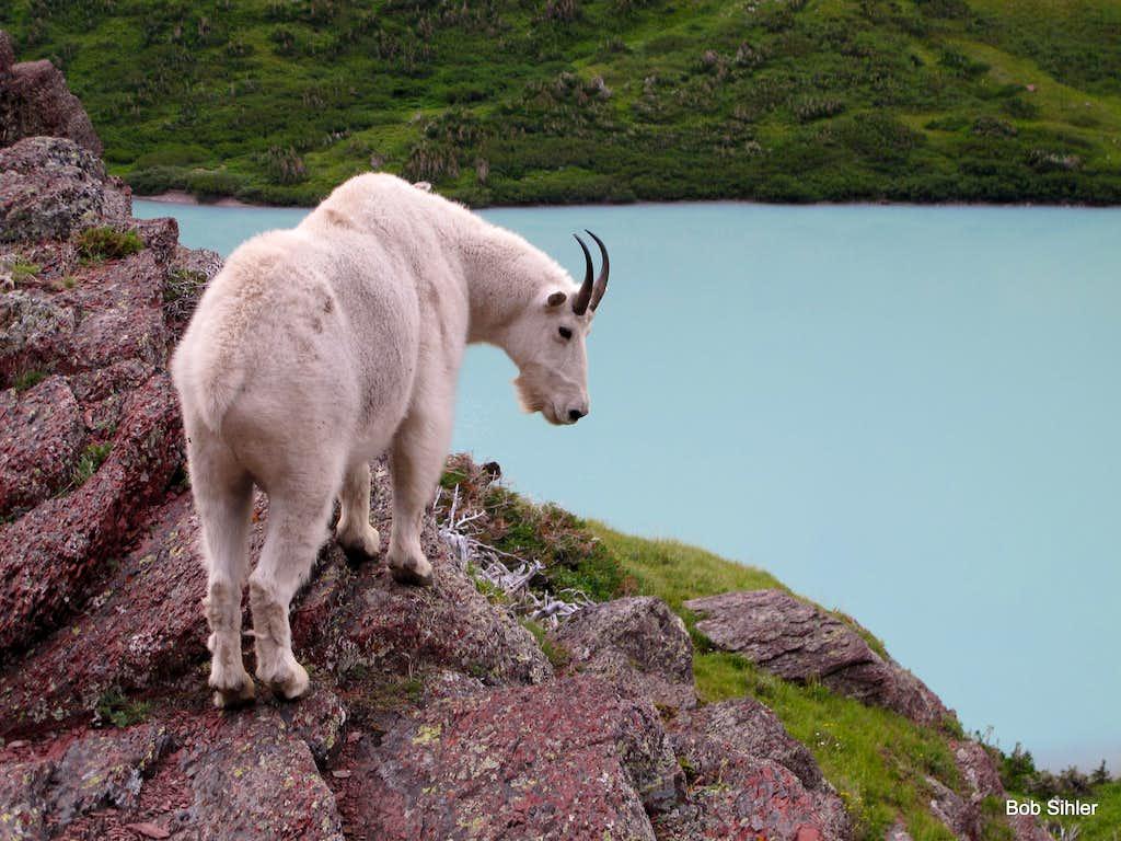 Mountain Goat at Cracker Lake