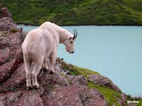 Mountain Goat at Cracker Lake