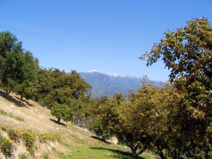 Palomar from the grove