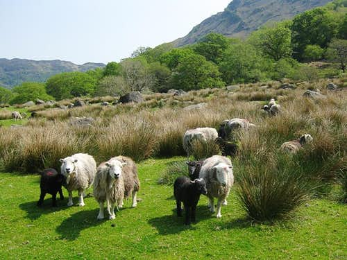 There are plenty of sheep in the Lake District