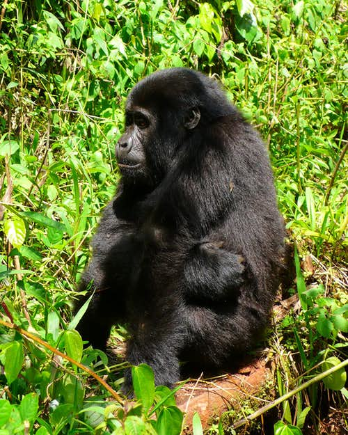 Young Mountain Gorilla