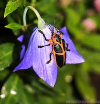Cool beetle over a <i>Platycodon grandiflorus</i>