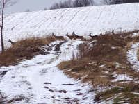 Deers on the slopes of Ostrzyca