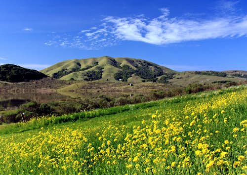 Mustard weed and Black Mountain