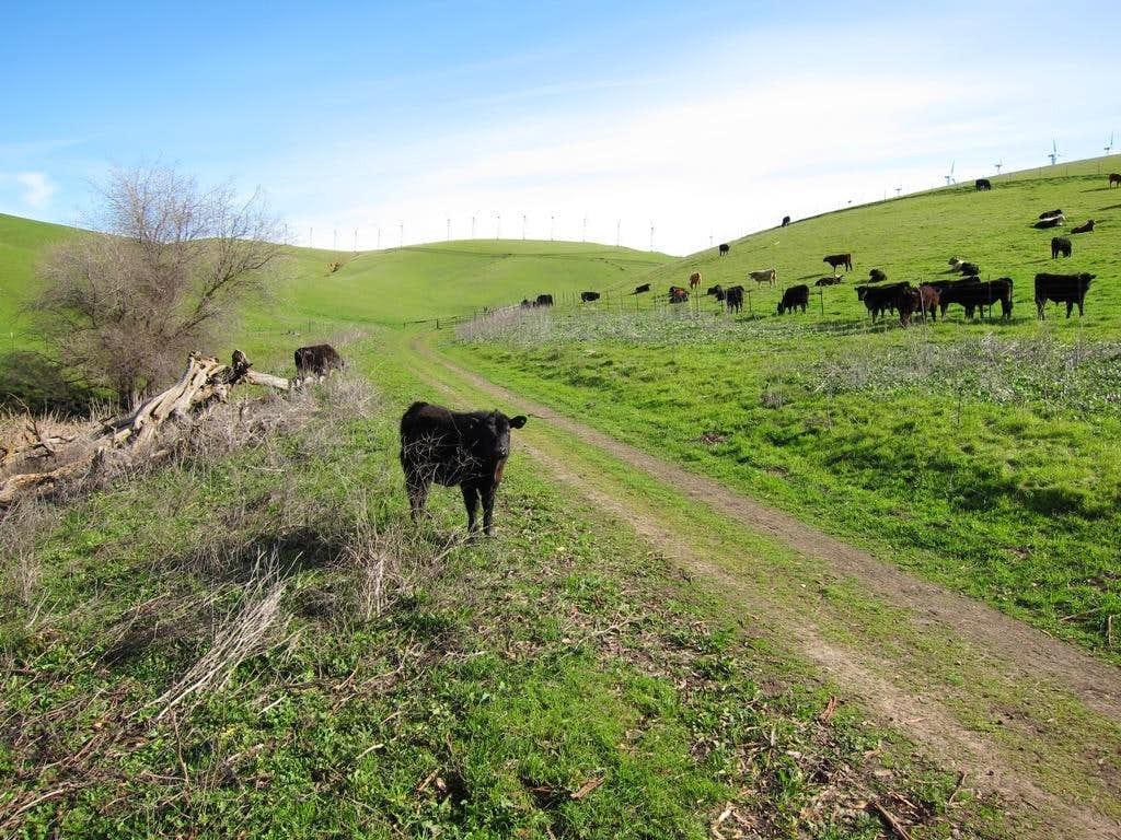 Cattle on Brushy Peak Loop