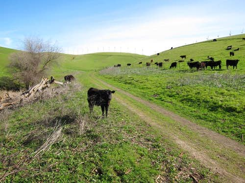 Cattle on Brushy Peak Loop