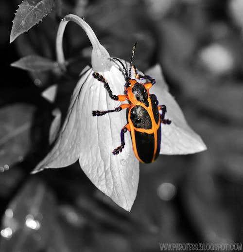 Cool beetle over a <i>Platycodon grandiflorus</i>