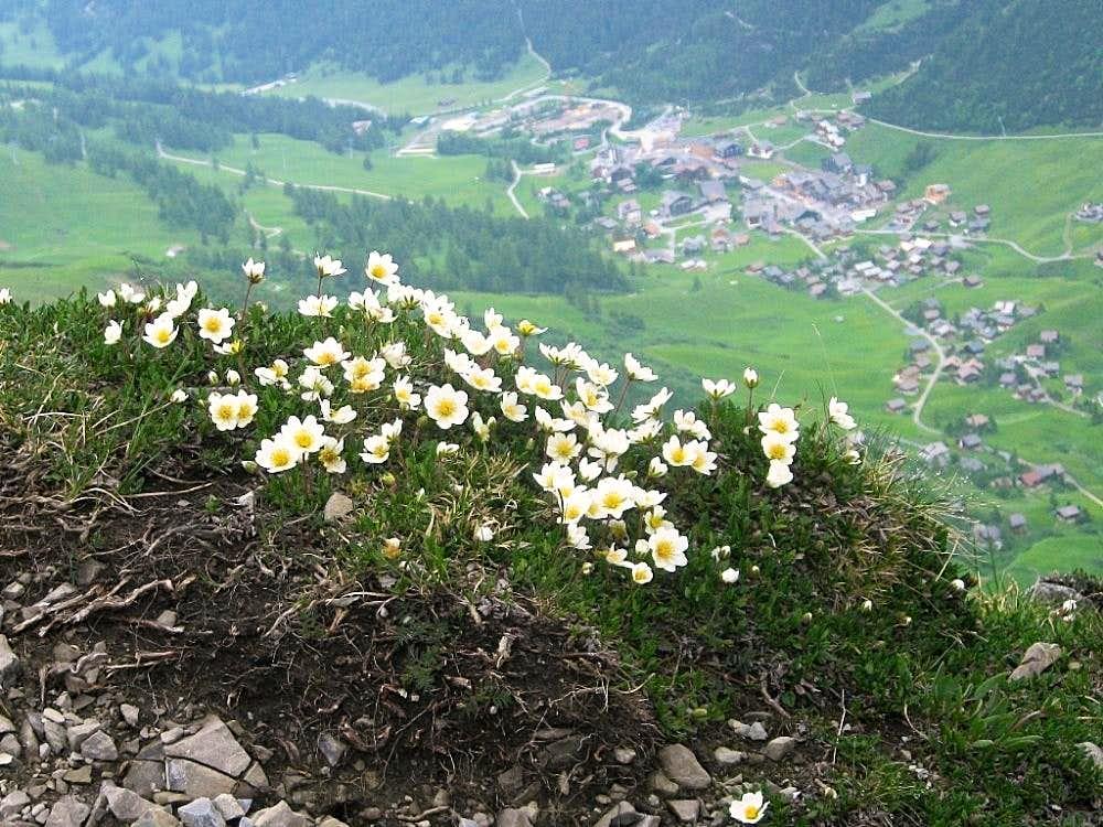 Alpine flowers high on the Augstenberg