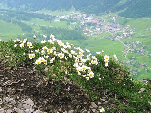 Alpine flowers high on the Augstenberg