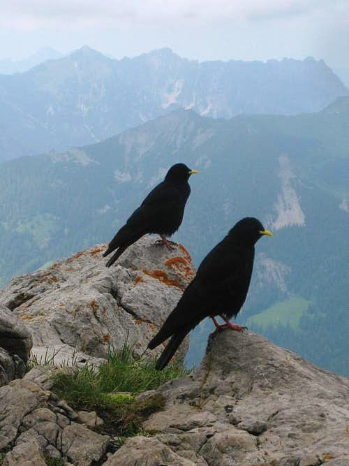 Alpine choughs around the Augstenberg summit cross