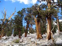 Old Trees on Cottonwood Lakes Trail
