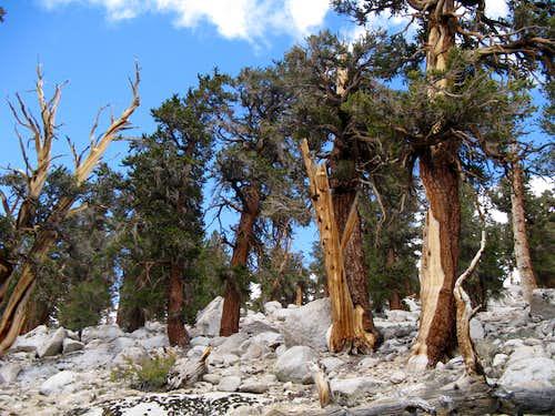 Old Trees on Cottonwood Lakes Trail