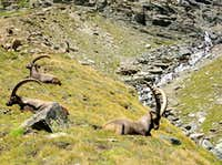 Lauson basin: herd of steinbocks (Capra ibex) <br>at the foot of  Colle della Rossa