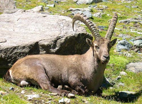 Male steinbock <i>(Capra ibex</i>)  in Lauson basin, Gran Paradiso GROUP
