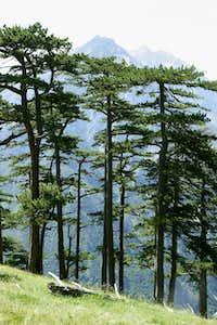 Pinetrees on Zelengora