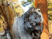 Walrus Tree