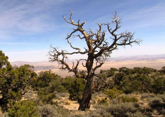 Dead tree on Silver Peak