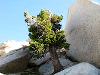 Dwarf Tree Near Top of Sawtooth Pass