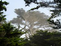 Ghost Tree on 17 Mile Drive