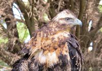 Black chested Buzzard Eagle <b><i>Geranoaetus melanoleucus</b></i>