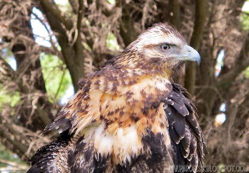 Black chested Buzzard Eagle <b><i>Geranoaetus melanoleucus</b></i>