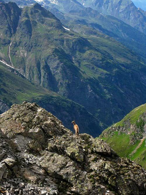 Alpine ibex (Capra ibex) just NE of Gahwinden