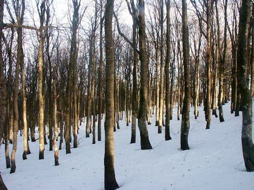 Beech forest : the typical...
