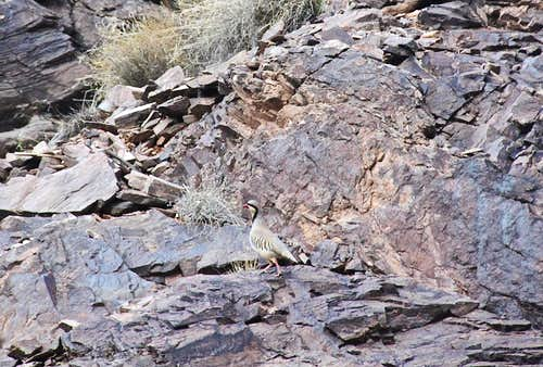 Chukar on Chukar Trail
