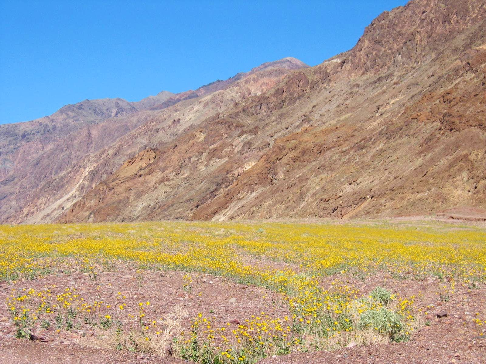Desert Wildflower Bloom – Death Valley National Park