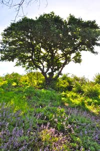 Oak tree and wildflowers