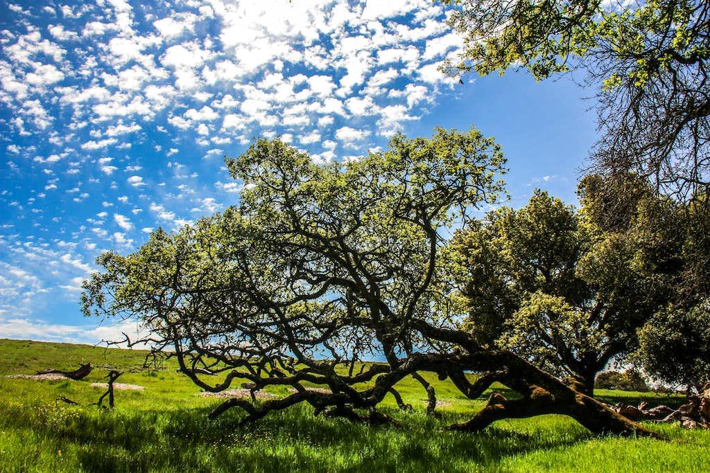 Live oak reclining