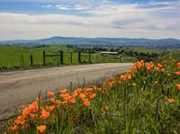 Roadside poppies