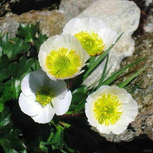 Alpine Crowfoot (Ranunculus glacialis), at the Weißmaurachjoch (2953m)
