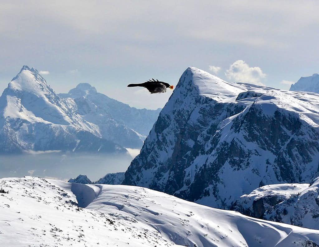 This alpine chough has got something in it's beak!