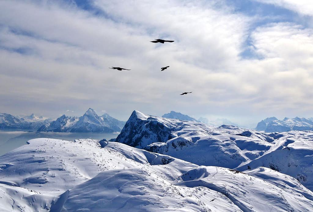 Alpine choughs flying over the Untersberg