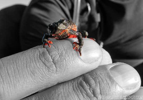 Flamenguinho Frog (Melanophryniscus moreirae) cut out