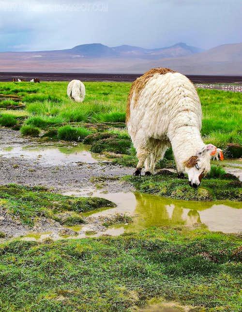 Llama feeding